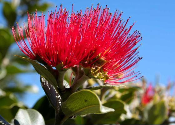 The Pohutukawa Is Popular In Cultivation, And There Are Fine Examples In  Most North Island Coastal Cities. Vigorous And Easy To Grow, The Tree  Flourishes ...